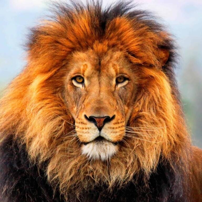 Lion-image